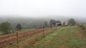 morning walk to the milk cow barn