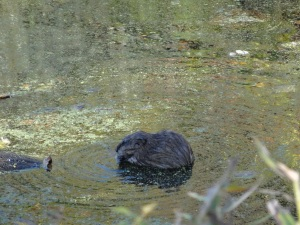 Muskrat in the C & O Canal